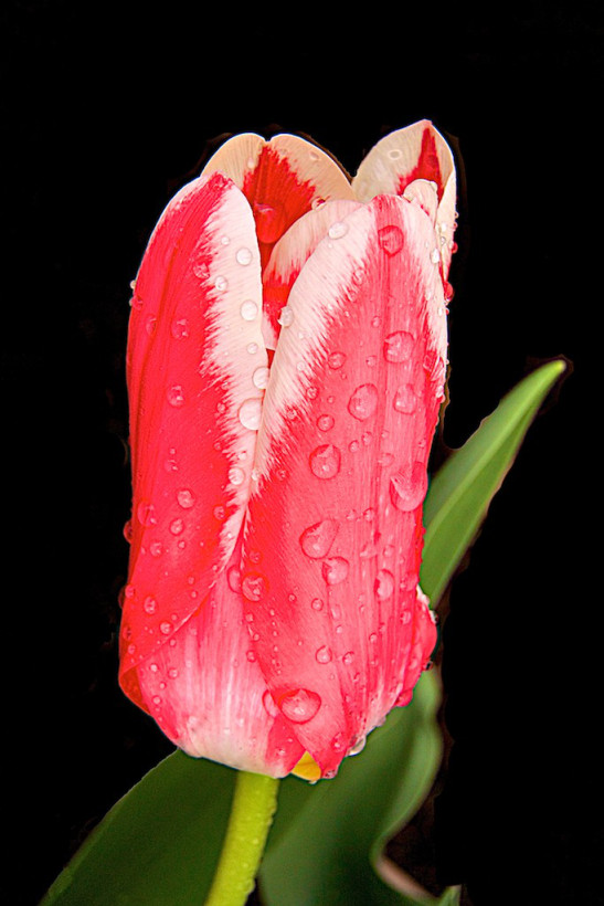 Tulip with rain drops (yes I turned the background to black)